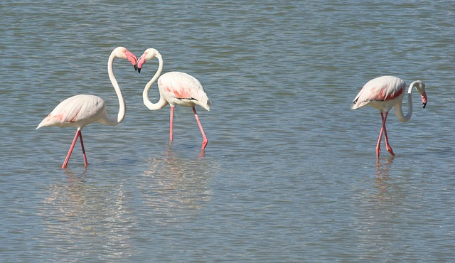 pink-flemish-912867_640